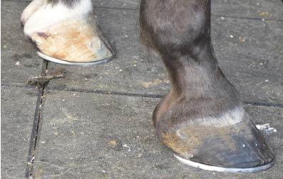 La cura dello zoccolo. Quali sono le necessità dei nostri animali?