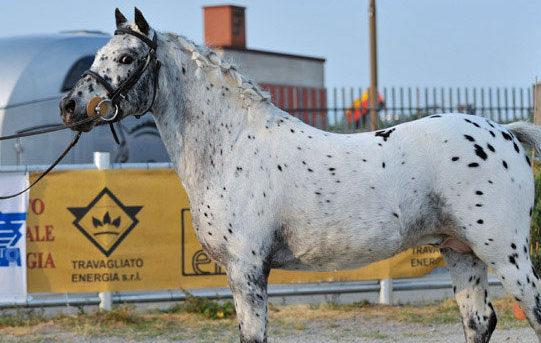 Allevare Pony Sportivi in Italia, i maculati Knabstrupper