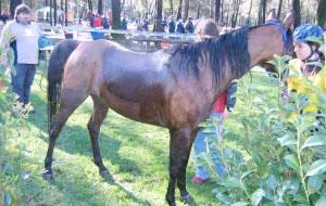 Il governo della mano del cavallo: la tosatura