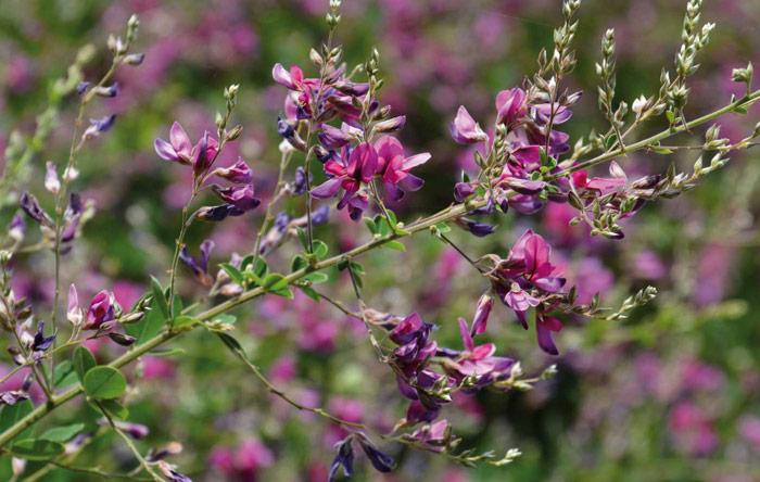 Il potere della natura: Lespedeza, una pianta in difesa dei reni.