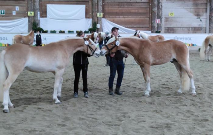 Si è svolto il raduno supplementare per stalloni di Razza Haflinger – Egna (BZ) 6 febbraio 2021