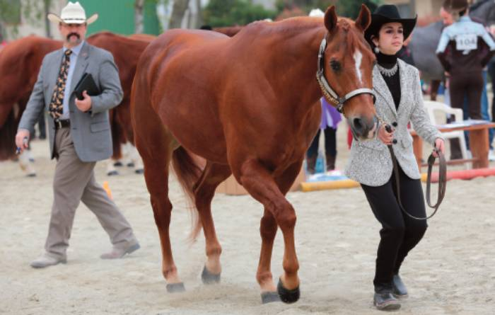 Let's begin the show: più di 80 cavalli hanno partecipato al primo show 2014 dedicato al Quarter Horse