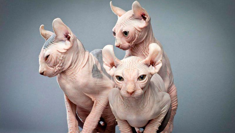 Ilgatto elfo, la nuova specie di felino,a Milano per Quattrozampeinfiera